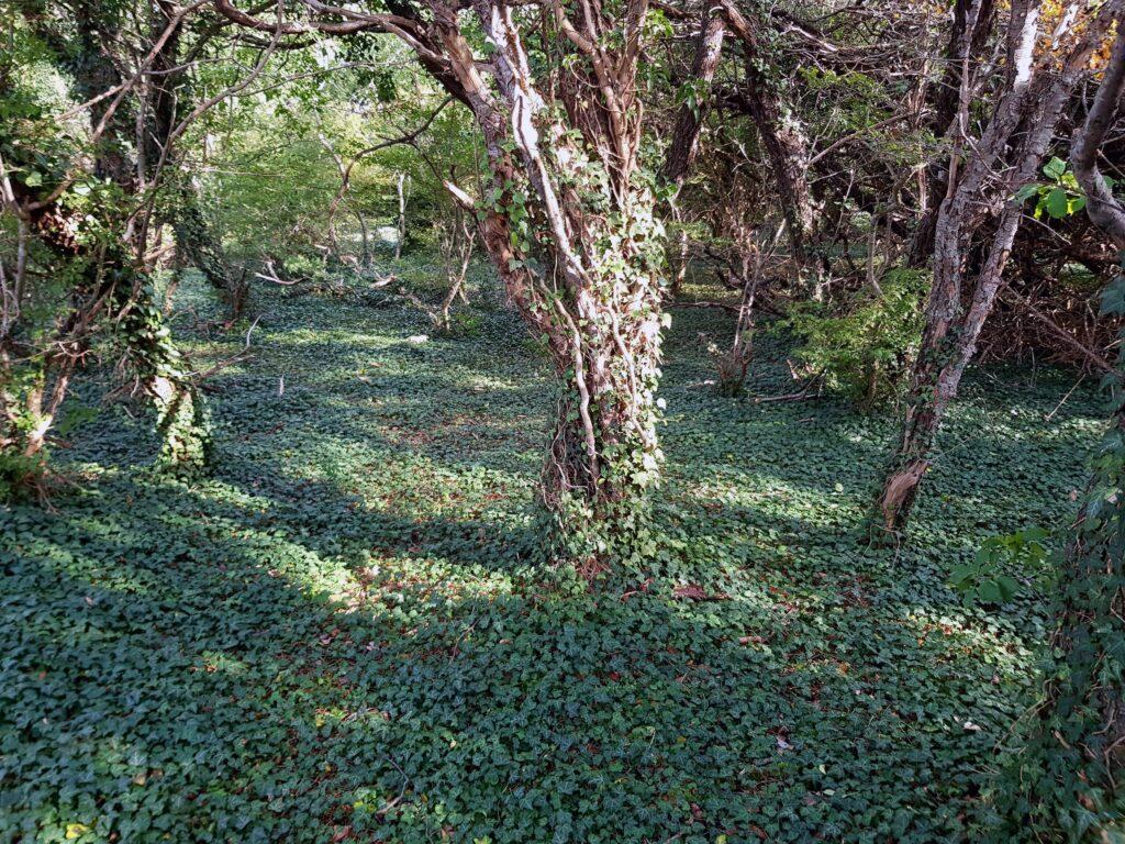 Murgröneskogen på Södra Hällarna