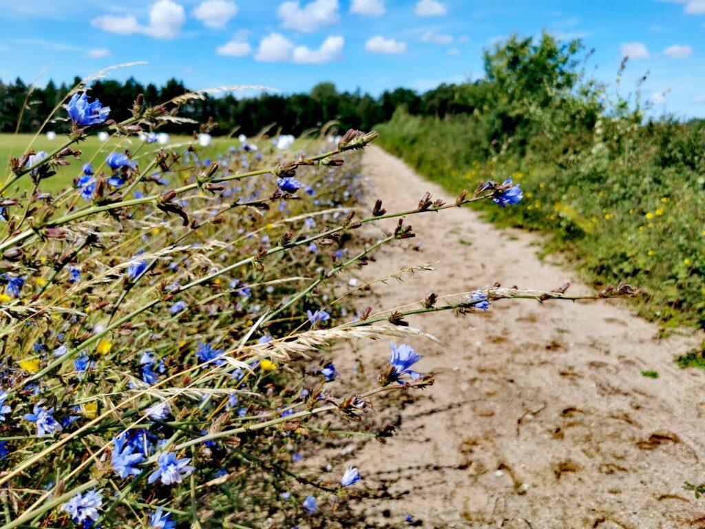 Blommande vägkanter längs leden